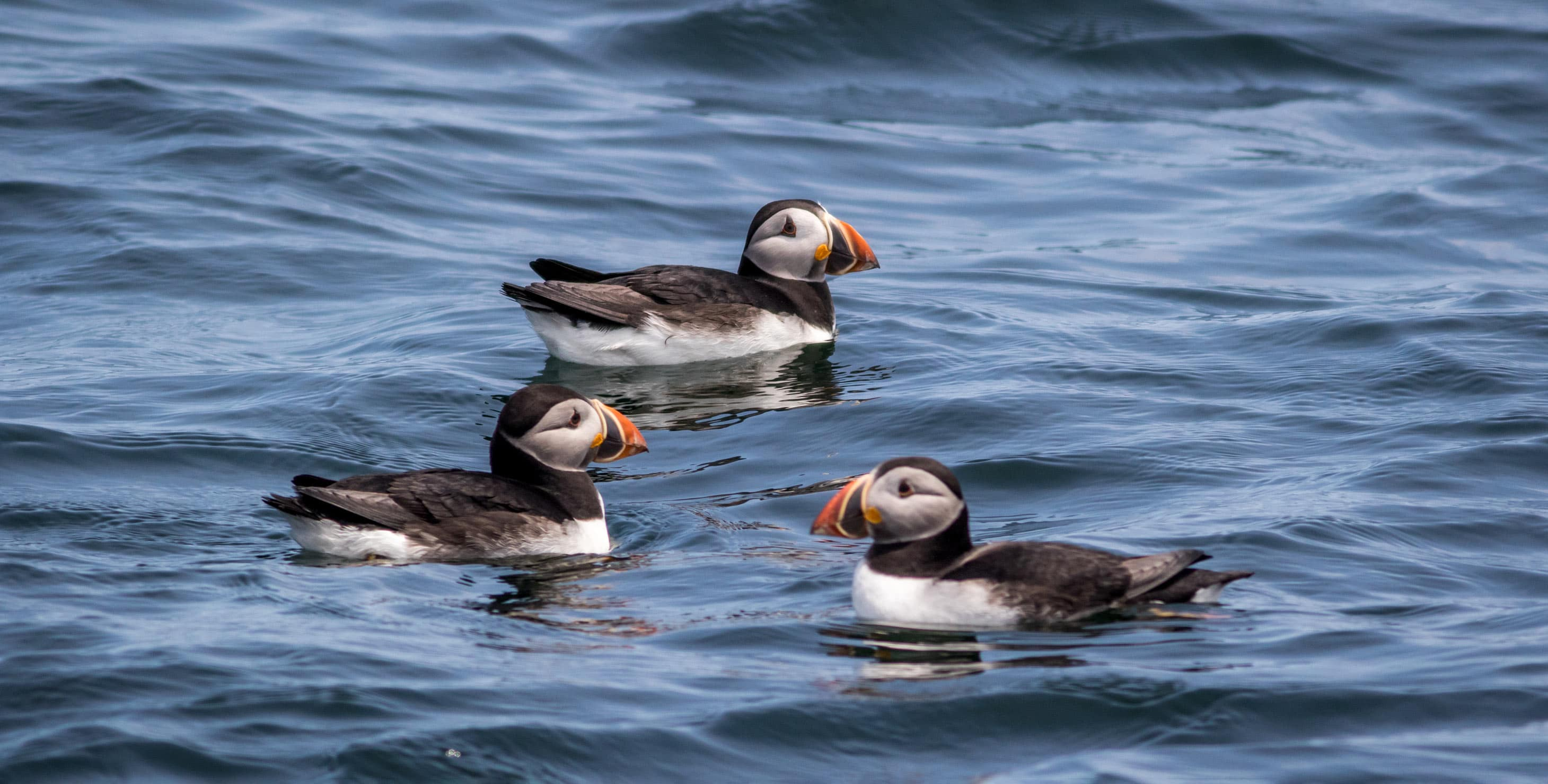 Puffins in Maine water